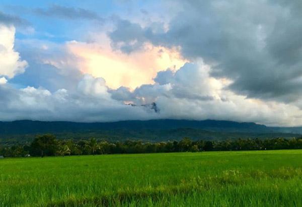 Lush rice field in Maliana, Timor-Leste